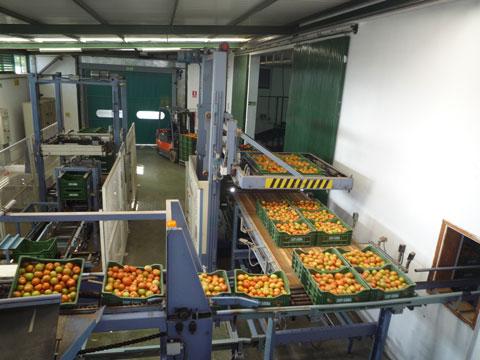 Tomato production Canary Islands