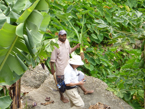 Arrowroot harvest, Cape Verde